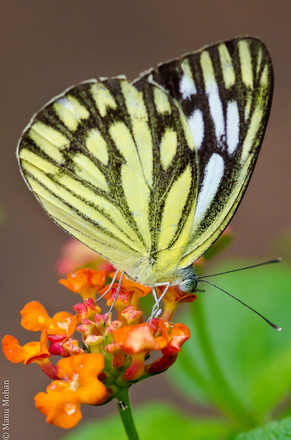 African Caper Butterfly