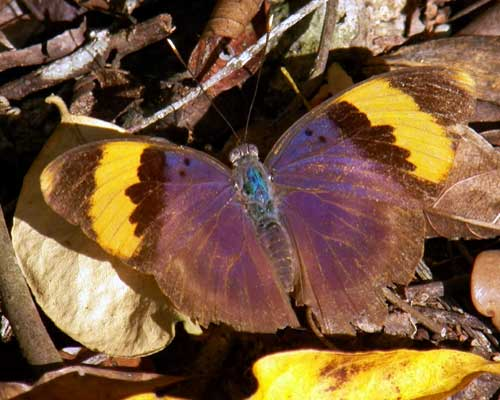 Gold-banded-forester Butterfly