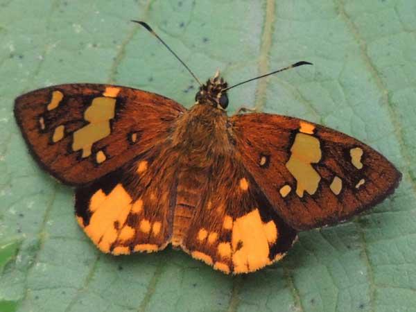 Common Orange Sprite